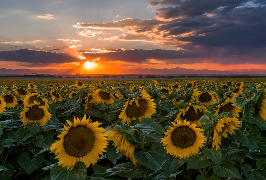 Fall Wallpaper Images Free Lovely Summer Sunset In The Sunflower Field A Picture I