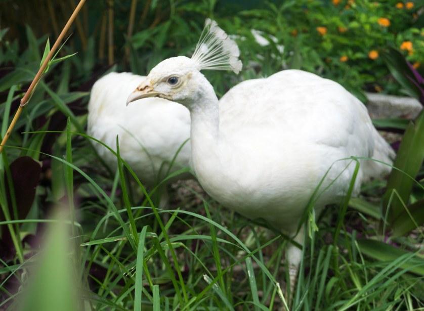 Peafowl - Everglades Wonder Gardens, July 5, 2018