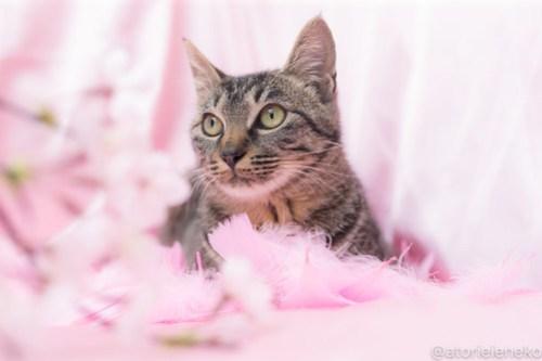 アトリエイエネコ Cat Photographer 39347712520_546c087494 1日1猫!高槻ねこのおうち_カフェぽぉ譲渡会_1 1日1猫!  高槻ねこのおうち 里親様募集中 譲渡会 猫写真 猫 子猫 大阪 写真展 写真 保護猫 カメラ Kitten Cute cat