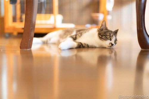 アトリエイエネコ Cat Photographer 26560009657_66c63a97ff 1日1猫!CaraCatCafe 幸せになるみつこちゃん♪ 1日1猫!  箕面 猫写真 猫カフェ 猫 子猫 大阪 初心者 写真 保護猫カフェ 保護猫 Kitten Cute cat caracatcafe