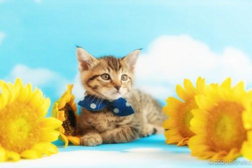 アトリエイエネコ Cat Photographer 40969254015_fc2a4d3fe9 1日1猫!ニャンとぴあキャッツ 里親様募集中のハタくん♪ 1日1猫!  里親様募集中 猫写真 猫カフェ 猫 子猫 大阪 初心者 写真 保護猫カフェ 保護猫 ニャンとぴあ スマホ キジ猫 カメラ おおさかねこ倶楽部 Kitten Cute cat