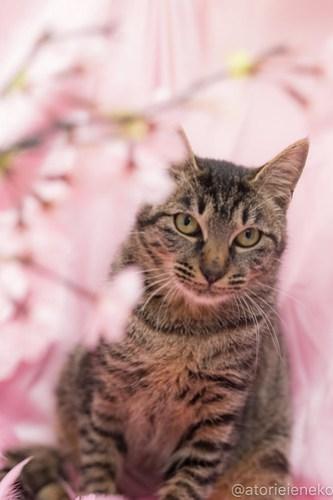 アトリエイエネコ Cat Photographer 39347718160_8ce555e87f 1日1猫!高槻ねこのおうち_カフェぽぉ譲渡会_1 1日1猫!  高槻ねこのおうち 里親様募集中 譲渡会 猫写真 猫 子猫 大阪 写真展 写真 保護猫 カメラ Kitten Cute cat