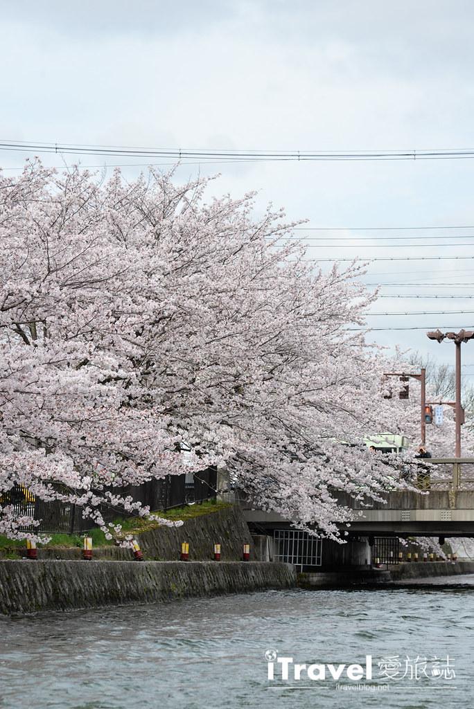 京都赏樱景点 冈崎疏水道 (23)