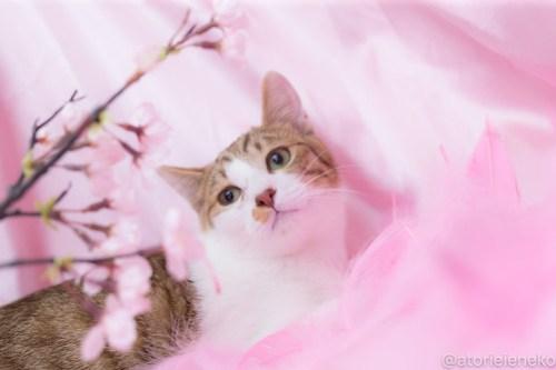アトリエイエネコ Cat Photographer 39347719470_0348ce44db 1日1猫!高槻ねこのおうち_カフェぽぉ譲渡会_2 1日1猫!  高槻ねこのおうち 里親様募集中 譲渡会 猫写真 猫 子猫 大阪 写真 保護猫 スマホ カメラ Kitten Cute cat