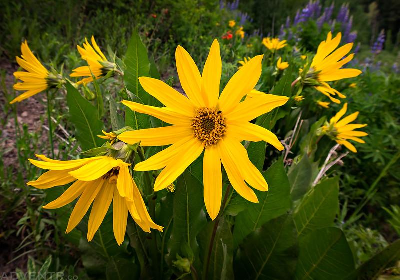 Kebler Pass Wildflowers