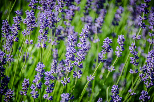 Purple Haze Lavender Farm-004