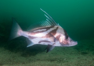 Longsnout Boarfish Pentaceropsis recurvirostris #marineexplorer
