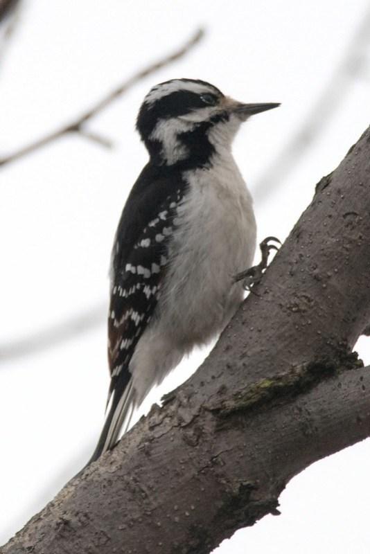 _8501430 Hairy Woodpecker