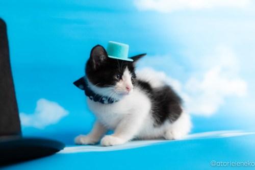 アトリエイエネコ Cat Photographer 41942222515_0d7a6a9b46 1日1猫!おおさかねこ俱楽部 里親様募集中のアトムくん♪ 1日1猫!  里親様募集中 猫写真 猫カフェ 猫 子猫 大阪 初心者 写真 保護猫カフェ ハチワレ ニャンとぴあ カメラ おおさかねこ倶楽部 Kitten Cute cat
