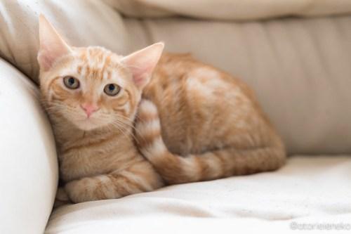 アトリエイエネコ Cat Photographer 42337315622_fbe7907df6 1日1猫!高槻ねこのおうち 茶トラ兄弟!!! 1日1猫!  高槻ねこのおうち 里親様募集中 猫写真 猫カフェ 猫 子猫 大阪 初心者 写真 保護猫カフェ 保護猫 カメラ Kitten Cute cat