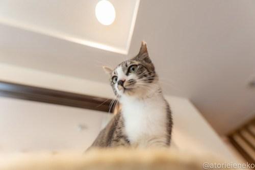 アトリエイエネコ Cat Photographer 41388707472_bc32c57ed6 1日1猫!CaraCatCafe 幸せになるみつこちゃん♪ 1日1猫!  箕面 猫写真 猫カフェ 猫 子猫 大阪 初心者 写真 保護猫カフェ 保護猫 Kitten Cute cat caracatcafe
