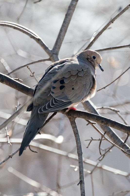 _8501644 Mourning Dove