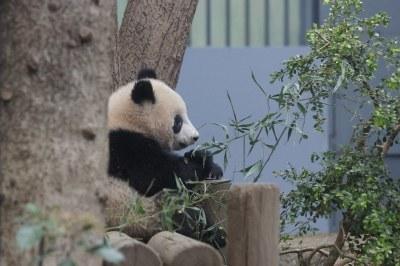 300-day-old Xiang Xiang (香香) 2018-04-08