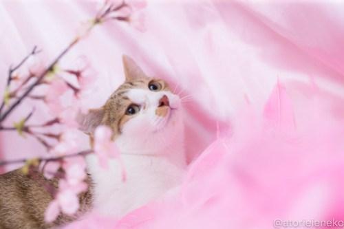 アトリエイエネコ Cat Photographer 41113905492_ac5c342e8c 1日1猫!高槻ねこのおうち_カフェぽぉ譲渡会_2 1日1猫!  高槻ねこのおうち 里親様募集中 譲渡会 猫写真 猫 子猫 大阪 写真 保護猫 スマホ カメラ Kitten Cute cat