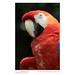 Detail: Scarlet macaw (Ara macao), Guayaquil, Ecudor