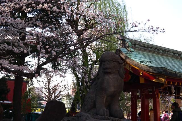 浅草寺 桜と狛犬