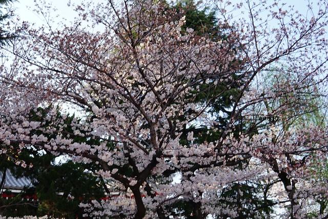 浅草寺 桜