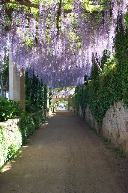 Hanging Wisteria