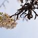 Blossom backlit