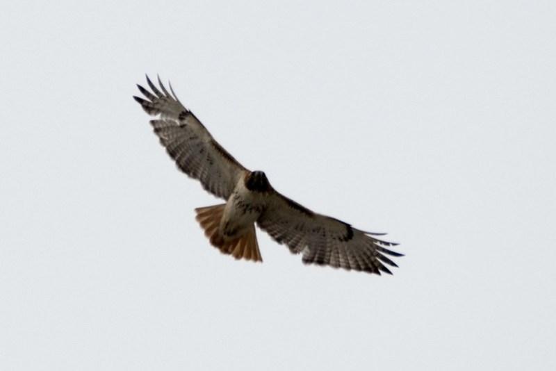 _8501471 Red-tail Hawk