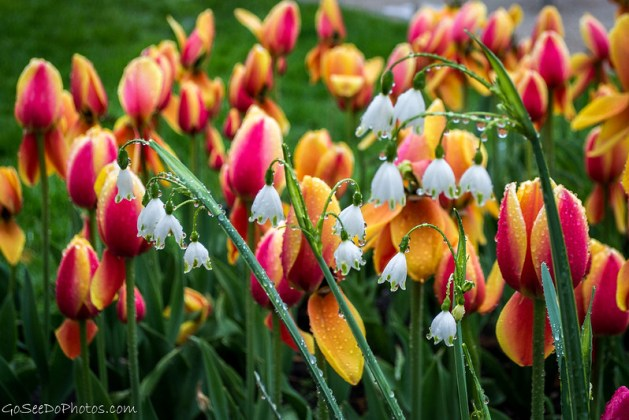 Lily of the Tulips