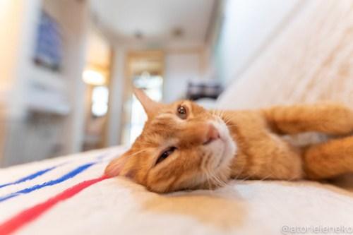 アトリエイエネコ Cat Photographer 40900622084_15f63502a5 1日1猫!小さな猫カフェ「ペルちゃん」に行ってきた その2♪ 1日1猫!  里親様募集中 猫写真 猫 子猫 大阪 写真 保護猫カフェ 保護猫 カメラ Kitten Cute cat