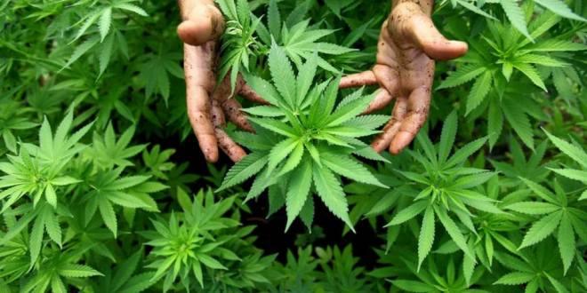 effets_cannabis_2018