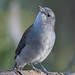 Grey Shrike-thrush : This is my best side!