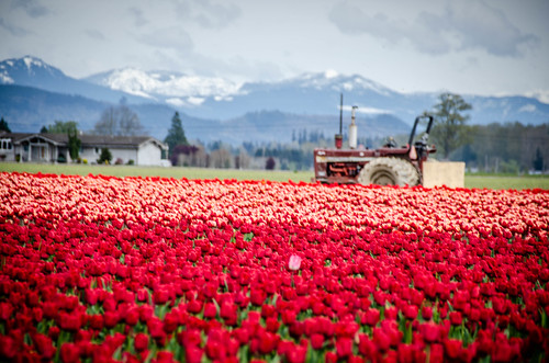 Skagit Valley Tulips-81
