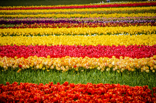 Skagit Valley Tulips-42