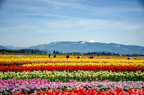 Skagit Valley Tulips-69