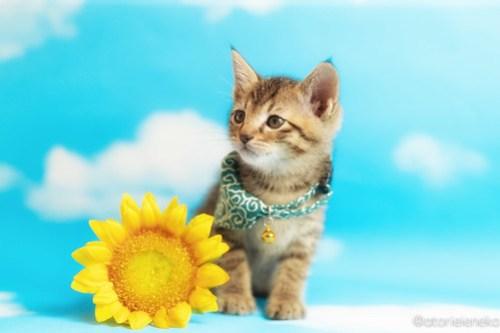 アトリエイエネコ Cat Photographer 27999054528_735769ef62 1日1猫!ニャンとぴあキャッツ 里親様募集中のカツオくん♪ 1日1猫!  里親様募集中 猫写真 猫 子猫 大阪 写真 保護猫カフェ 保護猫 ニャンとぴあ スマホ キジ猫 カメラ おおさかねこ倶楽部 Kitten Cute cat