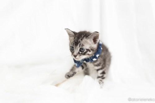 アトリエイエネコ Cat Photographer 40145823120_d7b4b2ba4c 1日1猫!高槻ねこのおうち まなぶちゃん♪ 1日1猫!  高槻ねこのおうち 里親様募集中 猫写真 猫 子猫 大阪 写真 保護猫 スマホ キジ猫 カメラ Kitten Cute cat