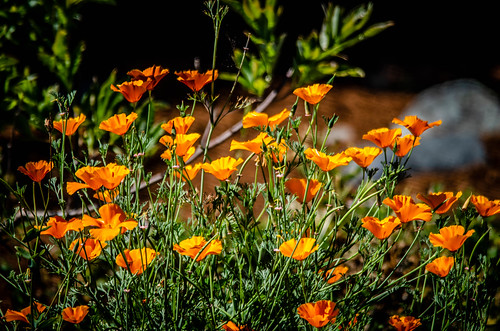 Yard California Poppies