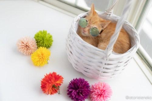 アトリエイエネコ Cat Photographer 28406197967_4685be6f7b 1日1猫!高槻ねこのおうち 里親様募集中のけんちゃん♪ 1日1猫!  高槻ねこのおうち 里親様募集中 茶トラ 猫写真 猫カフェ 猫 子猫 大阪 初心者 写真 保護猫カフェ 保護猫 カメラ Kitten Cute cat