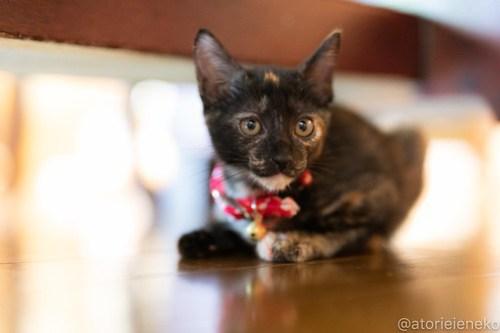 アトリエイエネコ Cat Photographer 42687183684_5c01b1b67f 1日1猫!CaraCatCafe天使に会いに行って来ました♪ 1日1猫!  里親様募集中 猫 子猫 大阪 初心者 写真 保護猫カフェ 保護猫 スマホ カメラ Kitten Cute cat caracatcafe