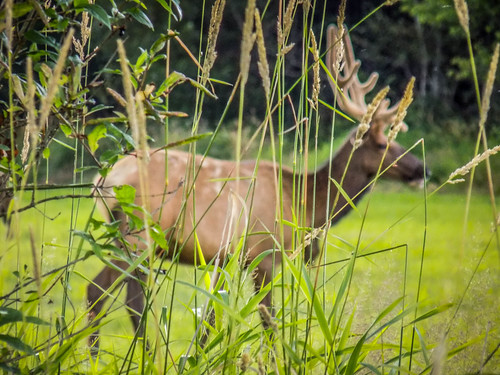 Skagit Valley Elk-003