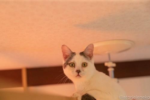 アトリエイエネコ Cat Photographer 40900622764_0cde50e7ce 1日1猫!小さな猫カフェ「ペルちゃん」に行ってきた その3♪ 1日1猫!  里親様募集中 猫写真 猫 守口市 子猫 大阪 写真 保護猫カフェ 保護猫 ペルちゃん スマホ Kitten Cute cat
