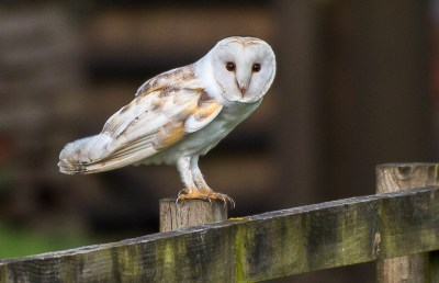 Barn Owl, Norfolk UK