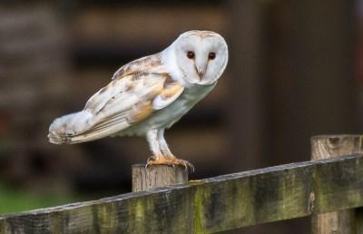 Barn Owl, Norfolk UK