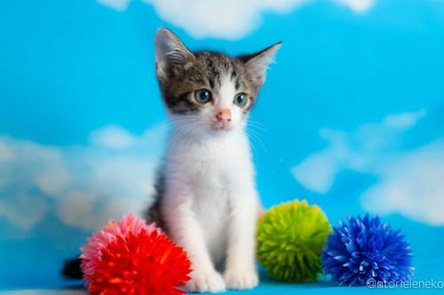 アトリエイエネコ Cat Photographer 43199420432_3914132c88 1日1猫!おおさかねこ俱楽部 里親様募集中のぺこちゃん♪ 1日1猫!  里親様募集中 猫写真 猫カフェ 猫 子猫 大阪 初心者 写真 保護猫カフェ 保護猫 ニャンとぴあ スマホ カメラ おおさかねこ倶楽部 Kitten Cute cat