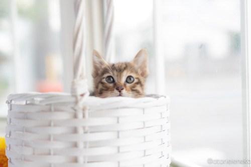 アトリエイエネコ Cat Photographer 42556877374_3f4bfb1143 1日1猫!高槻ねこのおうち 里親様募集中のろこちゃん♪ 1日1猫!  高槻ねこのおうち 里親様募集中 猫写真 猫カフェ 猫 子猫 大阪 初心者 写真 保護猫カフェ 保護猫 キジ猫 Kitten Cute cat