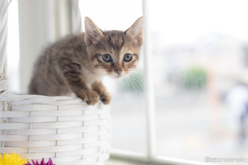 アトリエイエネコ Cat Photographer 42371138505_0c4a65d6a4 1日1猫!高槻ねこのおうち 里親様募集中のろこちゃん♪ 1日1猫!  高槻ねこのおうち 里親様募集中 猫写真 猫カフェ 猫 子猫 大阪 初心者 写真 保護猫カフェ 保護猫 キジ猫 Kitten Cute cat