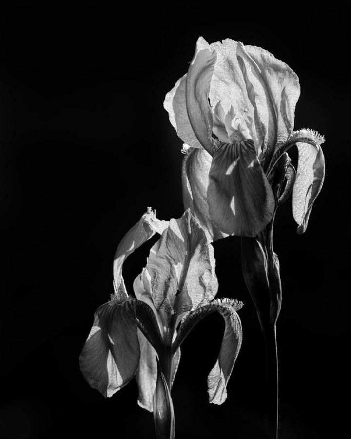 Iris Barbata