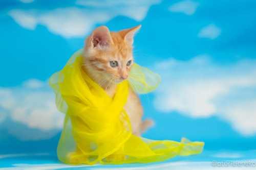 アトリエイエネコ Cat Photographer 28379235997_4107433c7f 1日1猫!おおさかねこ俱楽部 里親様募集中のおぼっちゃまくん♪ 1日1猫!  里親様募集中 茶トラ 猫写真 猫カフェ 猫 子猫 大阪 初心者 写真 保護猫カフェ 保護猫 スマホ カメラ ちゃとら おおさかねこ倶楽部 Kitten Cute cat