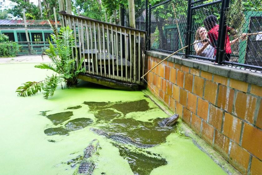 "I Love How the Staff Person is Helping this Child ""Catch"" an Alligator. Alligator Interactive Program - Everglades Wonder Gardens, Bonita Springs, Fla. July 5, 2018,"