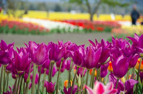 Roozengaarde Tulips-075