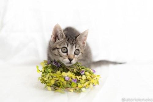 アトリエイエネコ Cat Photographer 42728368554_2007a03e85 1日1猫!おおさかねこ俱楽部 里親様募集中の華ちゃん♪ 1日1猫!  里親様募集中 猫写真 猫カフェ 猫 子猫 大阪 初心者 写真 ニャンとぴあ キジ猫 カメラ おおさかねこ倶楽部 Kitten Cute cat