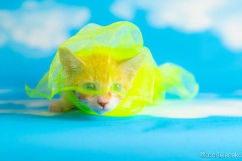 アトリエイエネコ Cat Photographer 28379282847_fb288cb36d 1日1猫!おおさかねこ俱楽部 里親様募集中のジローくん♪ 1日1猫!  里親様募集中 里親募集 猫写真 猫カフェ 猫 子猫 大阪 初心者 写真 保護猫カフェ 保護猫 ニャンとぴあ おおさかねこ倶楽部 Kitten Cute cat