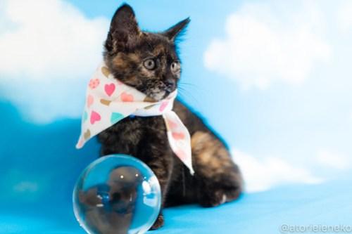 アトリエイエネコ Cat Photographer 41738913240_74553126ab 1日1猫!おおさかねこ俱楽部 里親様募集中のチャイクちゃん♪ 1日1猫!  里親様募集中 猫写真 猫カフェ 猫 子猫 大阪 初心者 写真 保護猫カフェ 保護猫 ニャンとぴあ サビ猫 カメラ おおさかねこ倶楽部 Kitten Cute cat